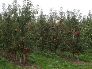 Az öntözés meghozza a gyümölcsét. (forrás: www.aquarex.hu)